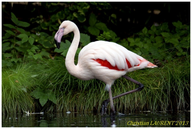 flamand rose